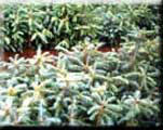 Transplanted Silver fir in nursery beds
